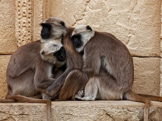 Индийские обезьяны протестуют против урбанизации, убивая человеческих младенцев