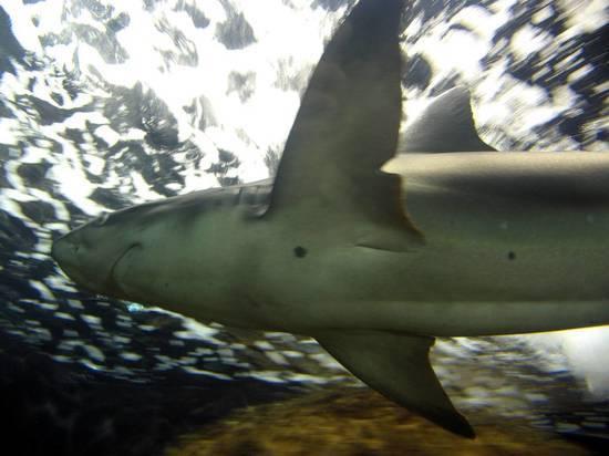 Четырехметровая тигровая акула напала на человека в Австралии