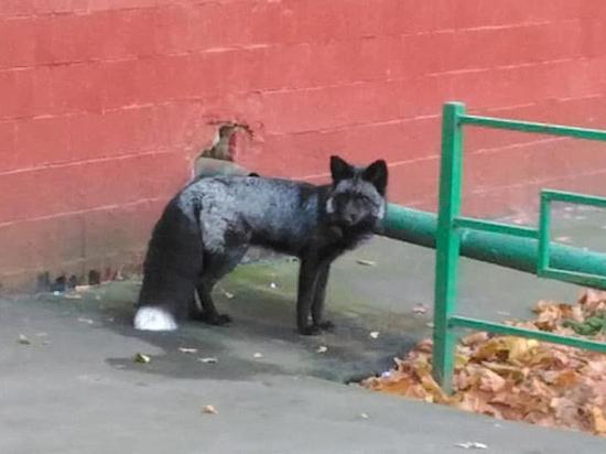 Беглую лисицу ловили в центре Москвы всем миром