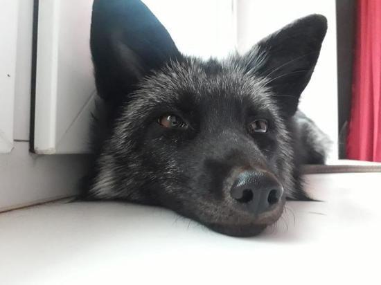 Хозяйка чернобурой лисицы рассказала, как животное оказалось на улице