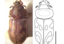 Новый, неизвестный ранее науке вид вьетнамских жуков открыл сотрудник Института биологии внутренних вод им
