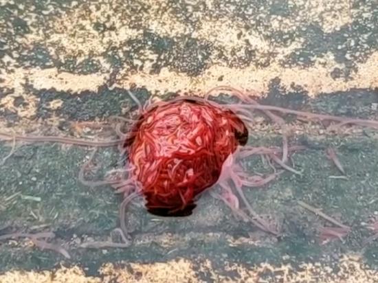 «Канализационный монстр» из червей напугал жителей Техаса