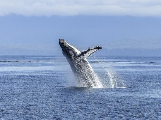 Биологи узнали о «культурных революциях», изменяющих песни китов