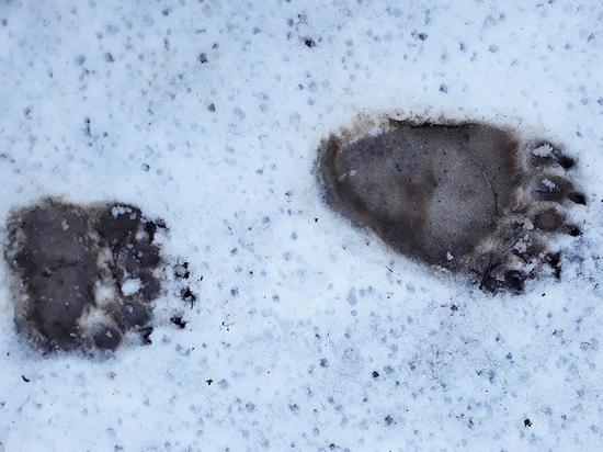 Туристы наткнулись на следы медведя в Псковской области