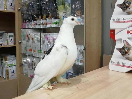 В Омске голубь со сломанным крылом сам пришел в ветклинику