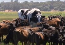 СМИ и интернет-пользователи активно обсуждают быка по кличке Никерс, достигающего 194 сантиметров в холке и весящего 1 400 килограмм