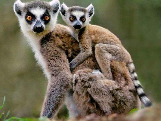 Кошачьи лемуры прилетели в Читу из Чехии и обосновались в местном зоопарке