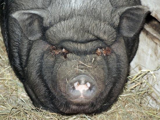 Фермер поведал, чем задобрить свинью в ее год: любит поспать