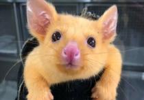 Австралийские жители обнаружили поссума, обладающего необычным окрасом из-за генетической мутации, связанной с выработкой мелатонина