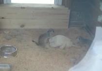 Сурикаты в Барнауле разучивают массаж на кроликах