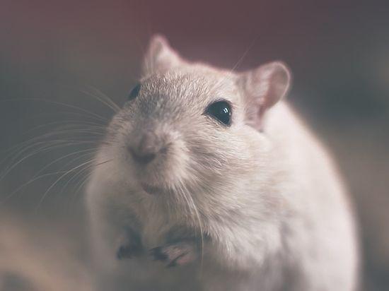 Крысы спасут людей с «синдромом чистоты»: открыто новое вещество