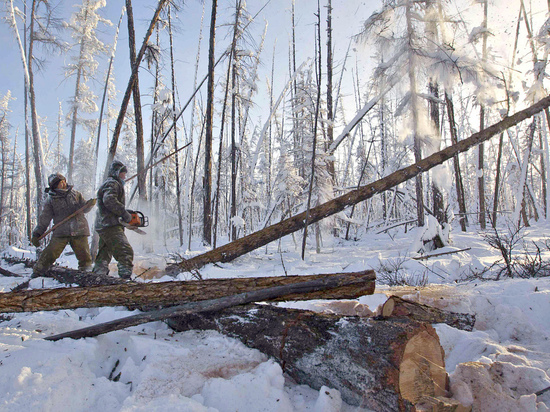 Дерево убило лесоруба в Онежском районе