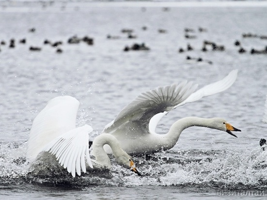 Раненую лебедушку спасли по зову ее возлюбленного в Алтайском крае