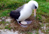 Самка темноспинного альбатроса по кличке Уиздом, считающаяся самой старой известной птицей из проживающих в дикой природе, отложила новое яйцо на Гавайских островах