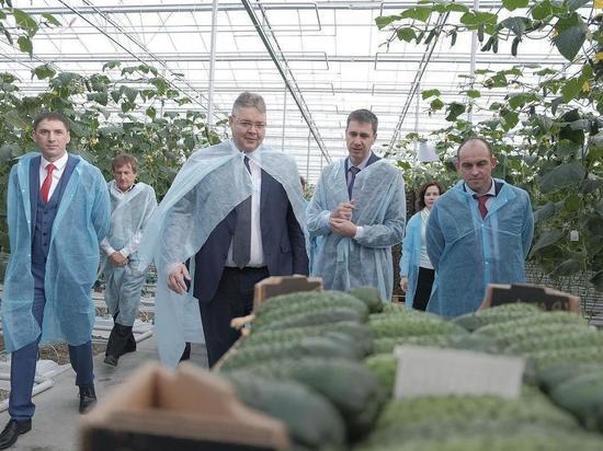 На Ставрополье открыли теплицу по выращиванию огурцов