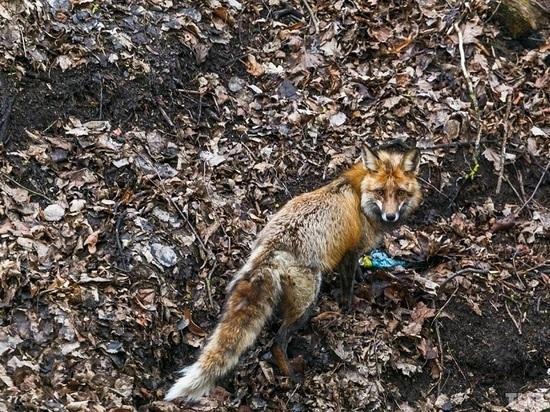 В Рассказовском районе обнаружили лисицу, больную бешенством