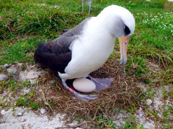 Старейшая дикая птица в мире отложила яйцо: ей 68 лет
