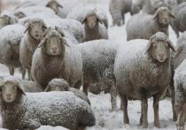 22-летний волгоградец подозревается в краже стада овец