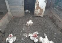 В Астрахани стая собак разорила домашнее хозяйство