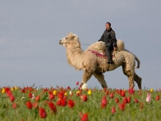 Калмыкия голосует за Фестиваль тюльпанов