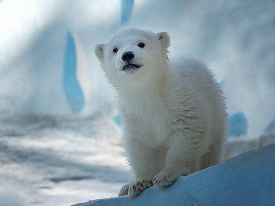 Новосибирский медвежонок Ростик добрался до Китая