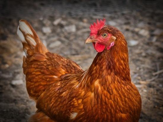 Антропологи объявили главным «наследием» человечества куриные кости