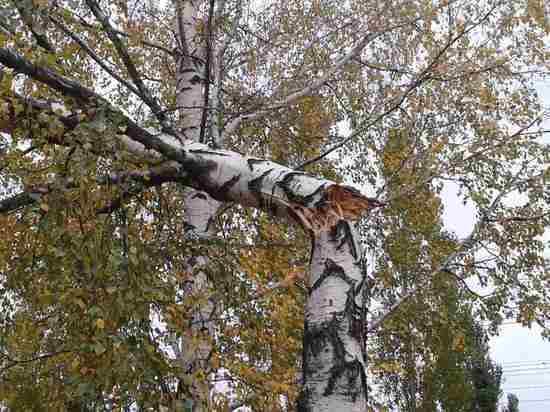 В Ульяновской области будут мониторить снос аварийных деревьев