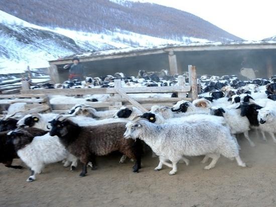 40-летняя жительница села Тоолайлыг защитила бизнес-проект «Разведение овец и коз»