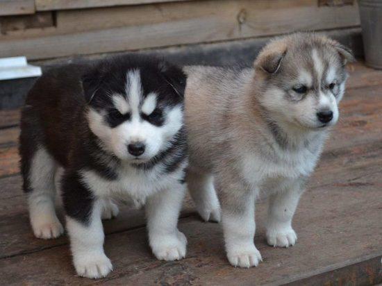 В омском «хаски-парке» будут выращивать щенков