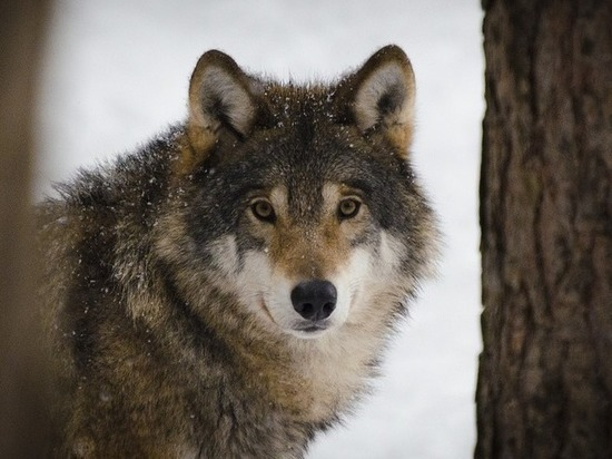 Волков в Сочи накормят котлетами с вакциной от бешенства
