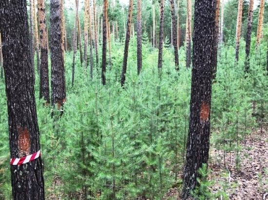 «Алтайлес» готовится открыть крупнейшее промышленное предприятие по глубокой переработке древесины