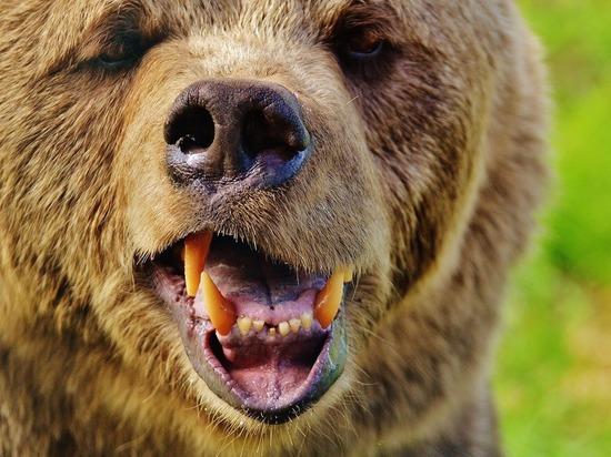 Домашний медведь задрал своего хозяина в Челябинской области