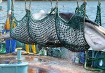 С целью охоты на китов японское государство выйдет из Международной комиссии по промыслу китов (IWC) — это решение, которое, несомненно, вызовет международное осуждение