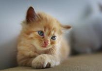 К началу весны 2019 года в Китае должен появиться на свет первый в стране клонированый котенок, заявили представители компании, занимающейся разработкой биотехнологий