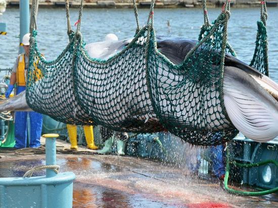 """Япония, """"наплевав"""" на мир, решила начать бойню китов"""