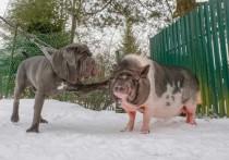 В Ленобласти мини-пиг стал опекуном щенка мастифа