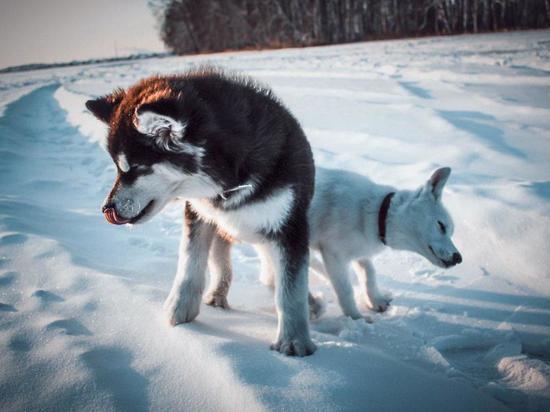 Омичей пригласили на морозную фотосессию с щенками хаски