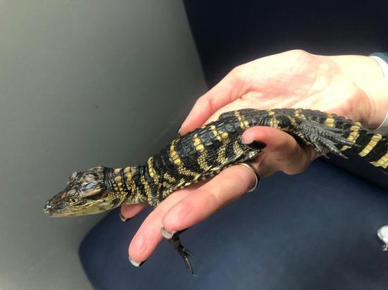 Тарантулы и крокодилы оказались новогодними подарками, привезенными москвичом из Мексики