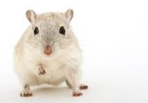Специалисты, представляющие Институт медико-биологических проблем Российской академии наук, выступили с предложением отправить отправить мышей на борту космического корабля Феедерация, который в будущем десятилетии должен отправиться к Луне