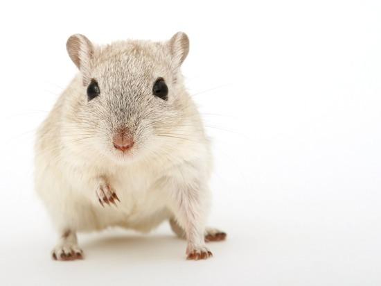 РАН предложила отправить к Луне мышей