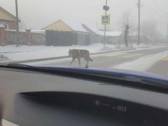 Сотрудники полиции и Госкомохотнадзора Тувы разыскивают лиц, выпустивших на улицу прирученного волка