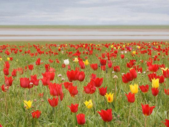 Фестиваль тюльпанов в Калмыкии вошел в топ лучших событий России