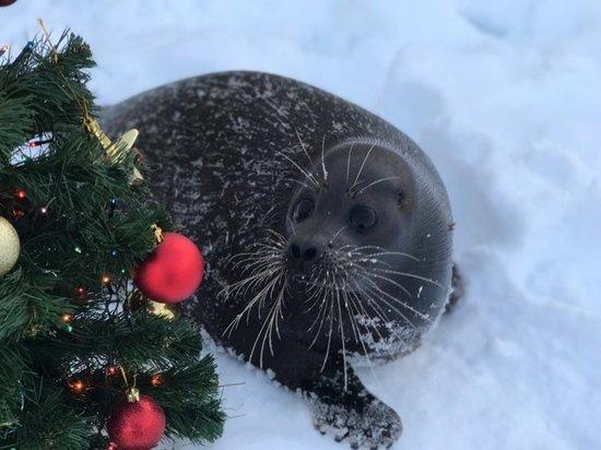 Нерпенок Крошик за взятку поздравил петербуржцев с Новым годом