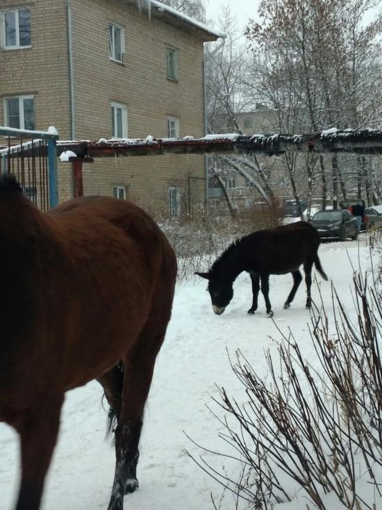 В Кохме по городским улицам гуляли лошадь и ослик