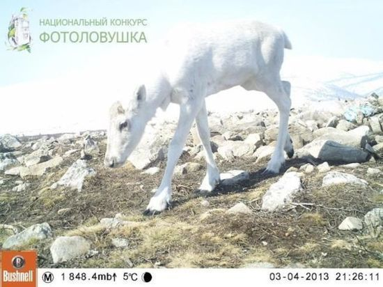 Фотоловушки принесли награду кузбасскому заповеднику