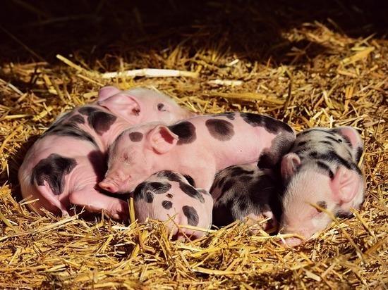 В год свиньи на борьбу с африканской чумой в Алтайском крае направят 30 миллионов рублей