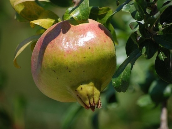 Фейхоа и гранат будут выращивать в Ингушетии