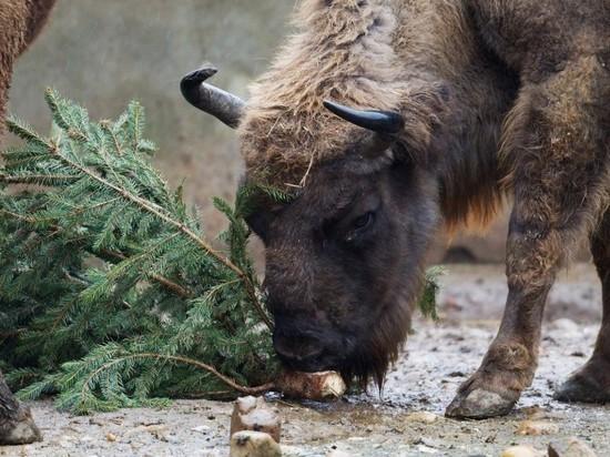 Новогодние елки съедят питомцы ивановского зоопарка