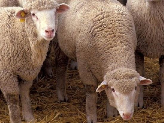 У калмыцкого фермера украли 42 овцы