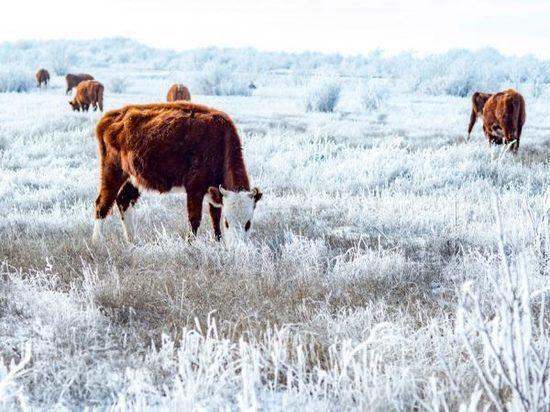 Калмыцкие коровы добрались до Магадана